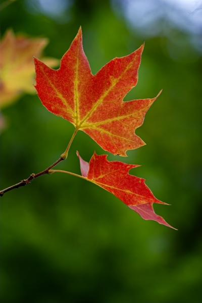 449403-fall-leaves
